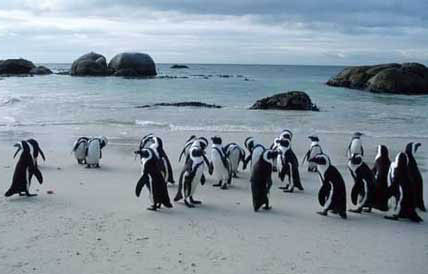 Penguins at Bounders Beach
