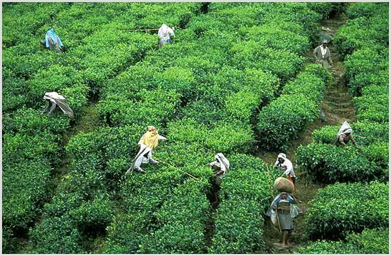 Tea Gardens,Munnar